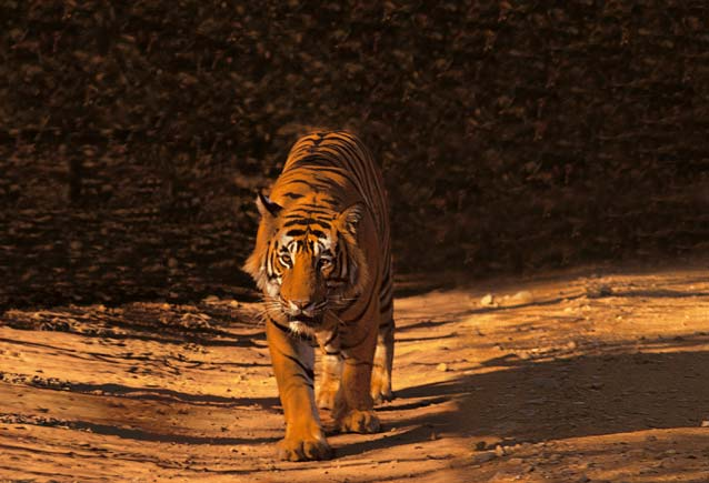 hoop tiger